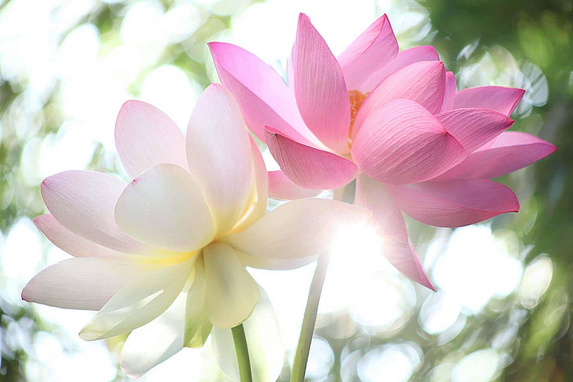 Lotus Flowers at Sun Rise by Bahman Farzad